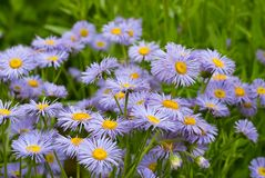 Daisy Fleabane Stock Photo