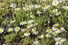 Daisy Fleabane Royalty Free Stock Images