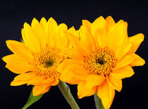 Daisy Floral arrangement Stock Photography