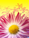 Daisy on Floral Background. Macro shot of delicate pink daisy on yellow floral background Stock Photos