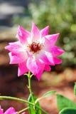 Daisy floral Royalty Free Stock Photo