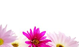 The daisy floral frame Stock Photography