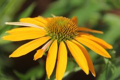 Daisy Flower Royalty-vrije Stock Fotografie