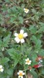 Daisy Flower Royaltyfria Bilder