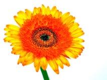 Daisy Flower royalty-vrije stock afbeelding