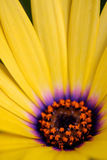Daisy flower Royalty Free Stock Photos