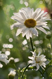 Daisy flower. In britte light and nice bokeh Stock Image