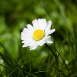 Daisy flower Royalty Free Stock Photography