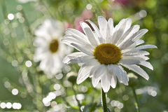Daisy flower. In britte light and nice bokeh stock images