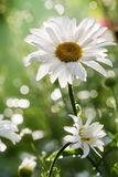 Daisy flower. In britte light and nice bokeh Royalty Free Stock Photography