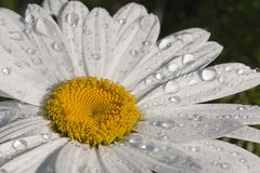 Daisy flower. In britte light and water drops Royalty Free Stock Photo