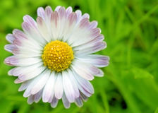 Daisy Flower. On the background of green grass Stock Images