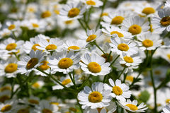 Daisy Flower. Tanacetum parthenium In Early Morning Light Stock Image
