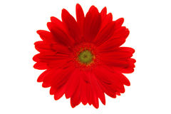 Daisy Flower. Red daisy flower isolated on white Stock Photos