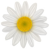 Daisy flower. Daisy, chamomile flower isolated, vector