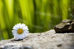 Daisy flower. On stone with green background stock photo