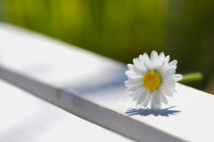 Daisy flower. On stone with green background stock image