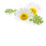 Daisy flower. At the right corner and text free space at the picture Royalty Free Stock Images