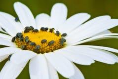 Daisy flower. And a bug life Stock Photo