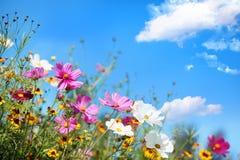 Daisy flower. Against blue sky stock photography