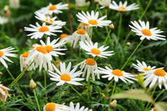 Daisy Flower Stockbild