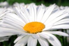 Daisy Flower Fotografía de archivo