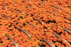 Daisy Flower Imágenes de archivo libres de regalías