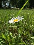 Daisy Flower Imagem de Stock Royalty Free