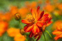 Daisy Flower Fotos de Stock