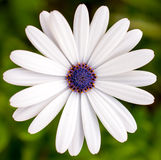 Daisy Flower Royaltyfri Bild