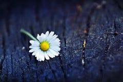 Daisy Flower Fotos de Stock Royalty Free