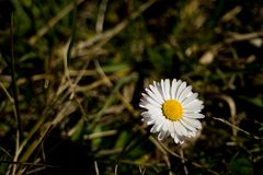 Daisy flower. White Daisy flower with grass in the background Stock Photos