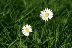 Daisy flower. And green grass in spring Stock Photography