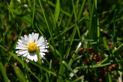 Daisy flower. And green grass in spring Royalty Free Stock Photo