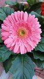 Daisy Flower stock fotografie