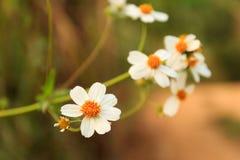 Daisy Flower Stockbilder