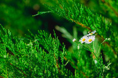 Daisy Flower Lizenzfreie Stockfotos