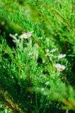 Daisy Flower Foto de archivo libre de regalías