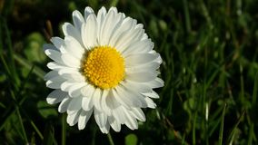 Daisy Flower Royaltyfri Foto