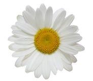 Daisy Flower Fotografering för Bildbyråer