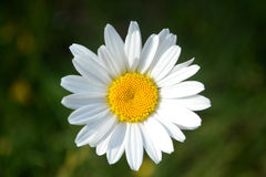 Daisy Flower Fotografía de archivo libre de regalías