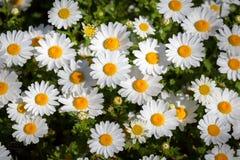 Daisy Flower Arkivbilder