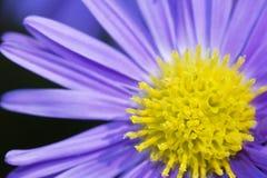 Daisy flower stock photography