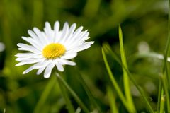 Daisy flower. Spring meadow with three daisies. Macro shot, shallow depth of field Stock Photography