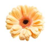 Daisy Flower Fotografie Stock