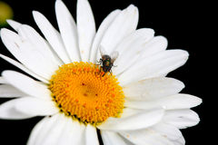 Daisy Flower Imagenes de archivo