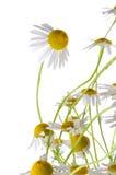 Daisy flower Stock Photos