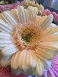 Daisy Flower Lizenzfreie Stockfotografie