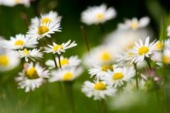 Daisy Flower Lizenzfreies Stockfoto