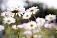 Daisy Flower Fotografia de Stock